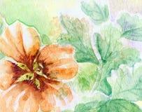 Flower nasturtium Stock Photo