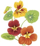 Flower of nasturtium. Isolated flower of nasturtium in red and yellow colors Royalty Free Stock Photography