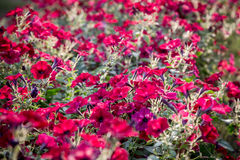 Flower natural background with red petunias Stock Photos