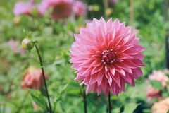 Flower and natural. Beautiful pink flower. Soft Light Process stock photo