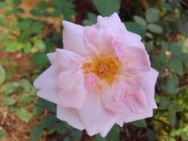 Flower. Natural Beauty Close-up rose Royalty Free Stock Photos