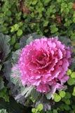 Flower Natural. Cauliflower beautiful plant Stock Photo