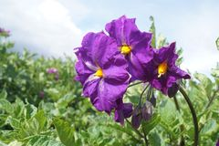 Flower of natural potato, in field of sembrio. PERU. royalty free stock photography
