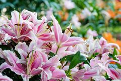 Flower nature background, Blossom pink lilly flower in spring se Stock Photo