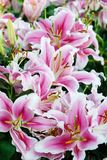 Flower nature background, Blossom pink lilly flower in spring se Stock Photography
