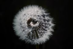 Flower, Nature, Black And White, Dandelion Stock Photography