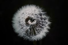 Flower, Nature, Black And White, Dandelion Royalty Free Stock Photo