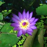 Flower. Nature flower lotus natural marsh royalty free stock photography