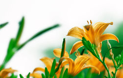Lily flowers. Orange lily flower is blooming under sun Royalty Free Stock Photo