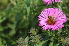 Flower, Nectar, Aster, Pollinator Stock Images