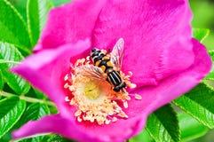 Flower, Nectar, Bee, Honey Bee royalty free stock photos