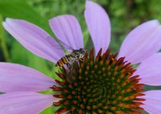 Flower, Nectar, Honey Bee, Bee royalty free stock photo