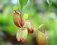 Flower Nepenthes Royalty Free Stock Images