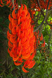 Flower of Newguinea creeper. In the garden Royalty Free Stock Image