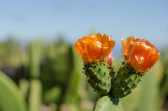 Flower of nopal cactus. Horizontal photo Stock Photos