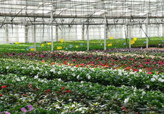 Flower nursery. Greenhouse with cultivated plants. Stock Images