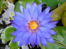 Flower nymphea blue lake watery water flowers Royalty Free Stock Photos