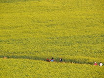 Flower ocean. How smallness when people in this cole flower ocean.It was taken at Feb,in Luoping which is a village of China Stock Image