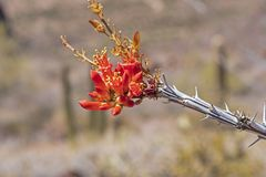 Flower of an Ocotillo in the Spring. In Organ Pipe Cactus National Monument in Arizona royalty free stock image