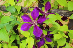 Flower od clematis on leaves background Stock Images