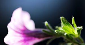 Flower of Odessa, Ukraine. Purple Flower in Odessa, Ukraine Royalty Free Stock Image