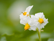 Flower Of A Potato Royalty Free Stock Image