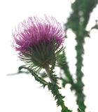 Flower Of A Thistle Royalty Free Stock Images