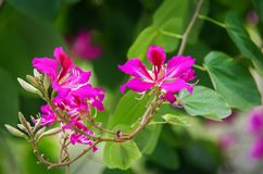 Flower Of Bauhinia Chinese Redbud Stock Images