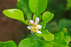 Flower Of Bergamot Fruits On Tree Royalty Free Stock Photos