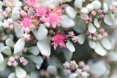 Flower Of Hylotelephium Sieboldii Stock Photography