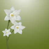 Flower Of Narcissus Stock Photography