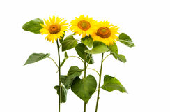 Flower Of Sunflower Isolated Royalty Free Stock Photography