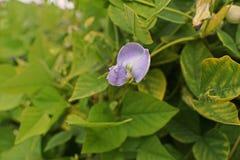 Free Flower Of  Winged Bean, Manila Bean Stock Photography - 156301792