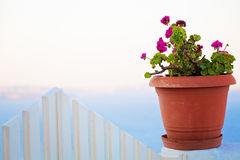 Flower in Oia, Santorini, Greece Royalty Free Stock Images