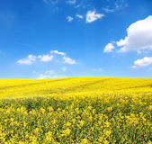 Flower of oil rape in field. With blue sky and clouds Royalty Free Stock Photography