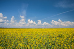 Flower of oil rapeseed Royalty Free Stock Photos