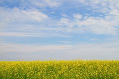 Flower of oil rapeseed in field Stock Photos