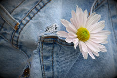 Flower in old jean pocket. Flower hanging from old jean pocket royalty free stock images