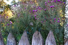 Flower and old wooden fence. Asters flower and antique mouldering wooden fence Stock Photo