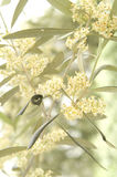 The flower of the olive Royalty Free Stock Photography