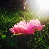 Flower. One flower blooming in sunset Stock Photo