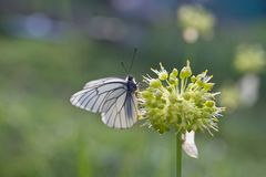 Flower, Onion, Butterfly Royalty Free Stock Photo