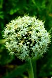 Flower. Onion Flower in Egyptian countryside Stock Photos