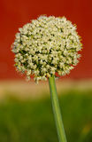 The flower of onion Stock Images
