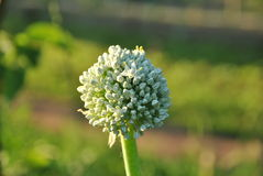 Flower of onion, july. Flower of adult onion in july stock photography