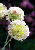Flower onions Royalty Free Stock Photo