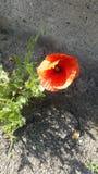 Flower. Orange flower in The asphalt Stock Photos