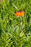 Flower with orange bloom Royalty Free Stock Images
