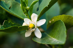 Flower orange blossom in spring in pollinating Royalty Free Stock Image