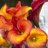 Flower of an orange calla lily and partial leaf. The flower of an orange calla lily and partial leaf as ornament royalty free stock photos